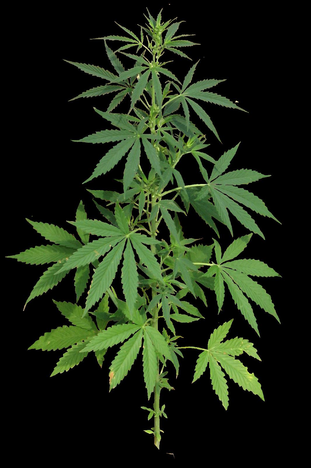 Png марихуана коноплю родители курят